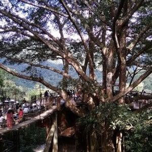 escursioni chiang mai fai da te, albero secolare