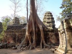 i templi di angkor - Radici di alberi secolari attorno al tempio di Ta Prohm