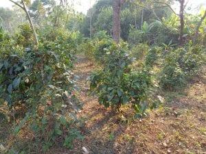 l'altopiano del bolaven e champasak- piantagioni di tè